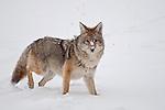 Coyote 37