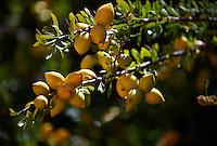 Argan Fruit growing on an Argan nuts in an Argon tree. Near Essouira,, Morocco