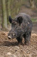 Wild Boar, Chipping, Lancashire.