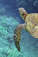 Green Sea Turtle with longline hook in flipper, Chelonia mydas. Maui, Hawaii, USA