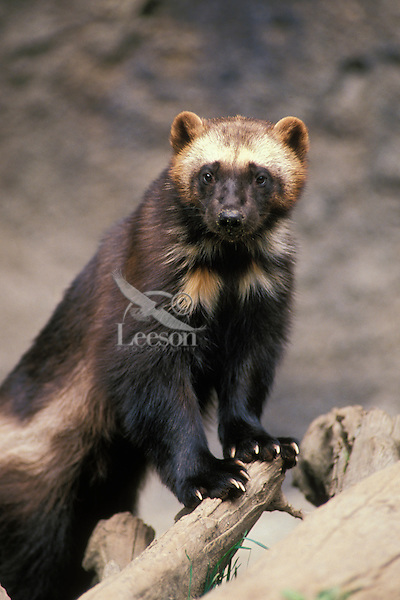 Wolverine (Gulo gulo)