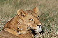 African Lion (Panthera leo) lioness with cub.  Serengeti National Park, Tanzania