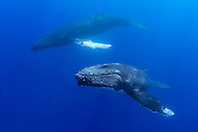 humpback whales, Megaptera novaeangliae, in courtship, Hawaii, Pacific Ocean