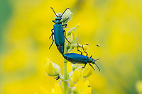 Two mating blister beetles (and other insects) feeding on Mountain Goldenbanner or Golden Pea wildflower.  Blue Mountains, OR.  June.