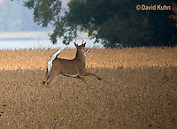 0608-1001  White-tailed Deer, Alert and Running with White Tail Up in Autumn, Buck with Antlers, Odocoileus virginianus  © David Kuhn/Dwight Kuhn Photography.