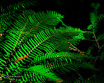 Ferns in Forest Light, Santa Cruz Mountains, California