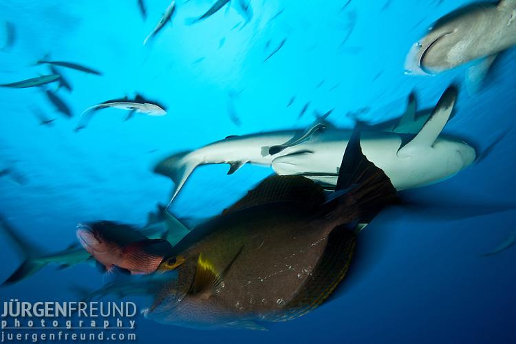 Whitetip reef shark (Triaenodon obesus) and Grey reef sharks (Carcharhinus amblyrhynchos)