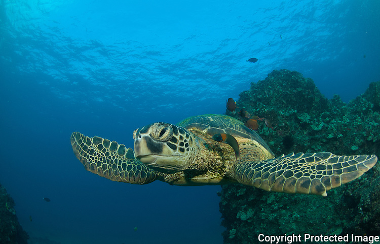 Green sea turtle getting clean by a cleaner wrasse , Puuoalai,Maui,Hawaii