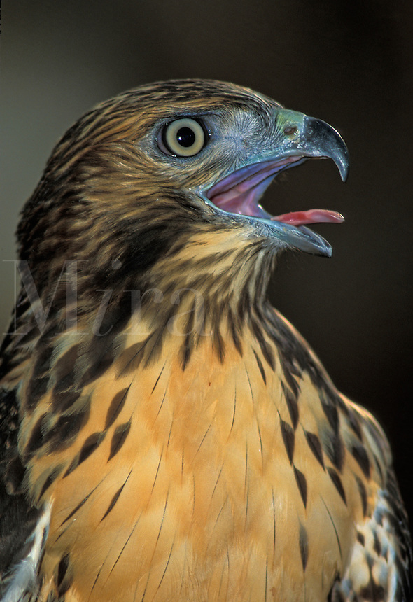 Red-tailed Hawk (Buteo jamaicensis) portrait (in captivity)