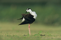 Black-necked Stilt, Himantopus mexicanus,adult preening, Lake Corpus Christi, Texas, USA, May 2003