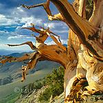 Bristlecone Pine, Pinus longaeva, White Mountains, Inyo National Forest, Eastern Sierra, Sierra Nevada Range, California