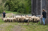 18-5-2021 Sheep being moved under the viaduct at Harringworth, Rutlan<br /> ©Tim Scrivener Photographer 07850 303986<br />      ....Covering Agriculture In The UK....