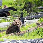 Raspberry's cub Rascal sits in a field in Yellowstone.