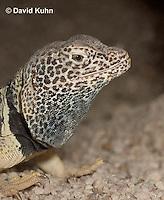 0612-1003  Male Great Basin Collared Lizard (Mojave Black-collared Lizard), Mojave Desert, Crotaphytus bicinctores  © David Kuhn/Dwight Kuhn Photography