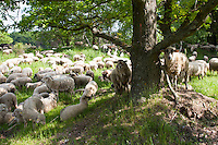 Schaf, Schafe, Hausschaf, Hausschafe, Merino-Schaf, Merinoschaf, Merino, Merino-Wollschaf, Wollschaf, Schafherde weidet auf Wiese unter Eichen, Sheep, domestic sheep, merino sheep, merino, merino, merino wool sheep, woolsheep, wool-sheep, flock of sheep grazing on meadow under oaks