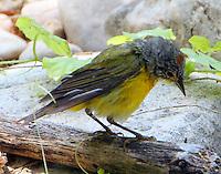 Adult male Nashville warbler after bathing