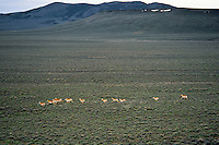 Pronghorn Antelope (Antiloapra americana) herd fleeing across sagebrush flats in Sheldon National Wildlife Refuge, Nevada.