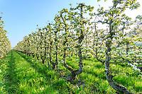 France, Loiret, Saint Pryve Saint Mesmin, old pear orchard driven in U in spring // France, Loiret (45), Saint-Pryvé-Saint-Mesmin, verger de vieux poiriers conduit en U au printemps