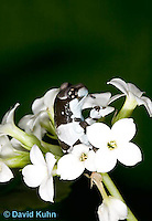 0305-0923  Froglet, Amazon Milk Frog (Marbled Tree Frog) on Bunch of White Flowers, Trachycephalus resinifictrix (formerly: Phrynohyas resinifictrix)  © David Kuhn/Dwight Kuhn Photography