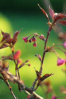 Red Flowering cherry tree, blossom unfolding