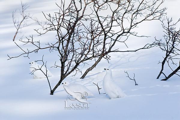 White-tailed Ptarmigan (Lagopus leucurus) in winter snow in subalpine Northern Rocky Mountain pass.