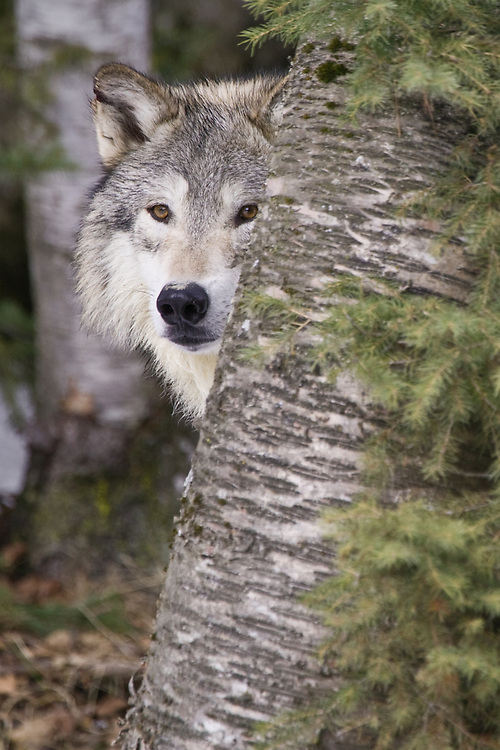 Grey Wolf watching intently from behind a tree - CA