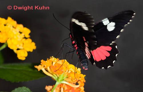LE45-538z  Transandean Cattleheart  Swallowtail, female, Parides iphidamas, Central America