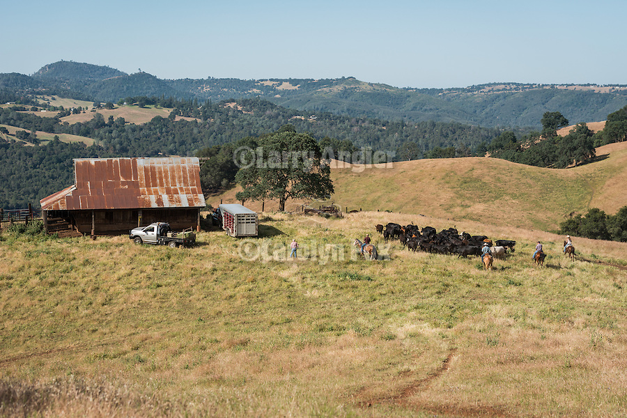 Gathering cattle on the historic Chin Ranch, Amador County, Calif., and overlooking the Mokelumne River Canyon and Calaveras County.<br /> <br /> Chin Ranch wooden barn