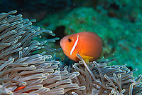 Blackfoot Anemonefish (Amphiprion nigripes) hosted in a magnificent sea anemone, Kudarah Thila, Ari Atoll, Maldives.