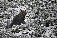 Grizzly Boar, Yellowstone