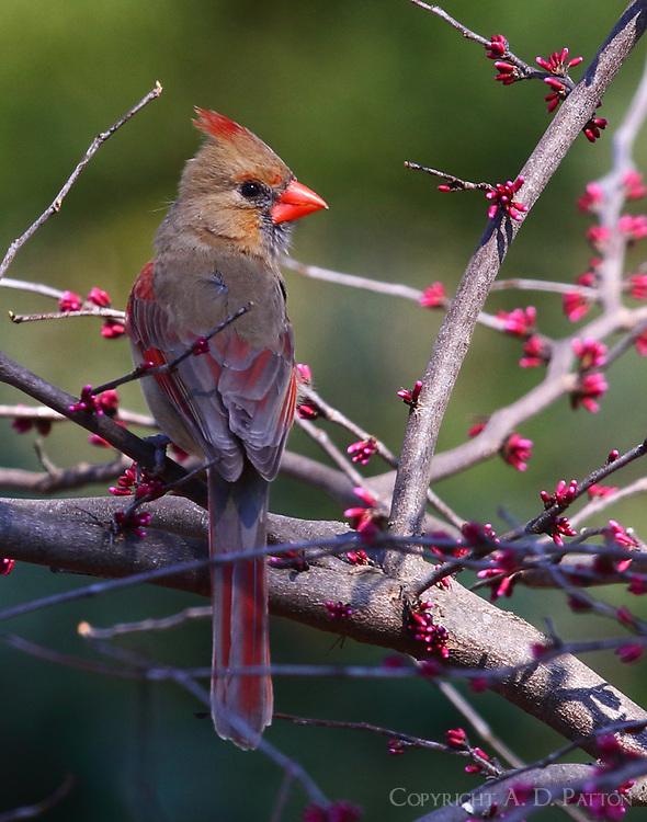 Female northern cardinal in redbud tree