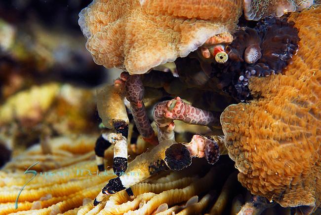 Corallimorph Decorator Crab, Cyclocoeloma tuberculata, Lembeh Straits, Sulawesi Sea, Indonesia, Amazing Underwater Photography
