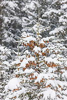 Snow on the branches of white spruce trees, Wiseman, Alaska.