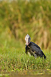Shoebill (Balaeniceps rex) with fish prey, Lake Albert, Toro-Semliki Wildlife Reserve, Western Rift Valley, Great Rift Valley, western Uganda