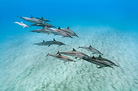 Hawaiian spinner dolphin, long-snouted spinner dolphin, or Gray's spinner dolphin, Stenella longirostris longirostris, a subspecies of spinner dolphin, Stenella longirostris, pod with calves, Hookena Beach Park, Hookena, Kona Coast, Big Island, Hawaii, USA, Pacific Ocean