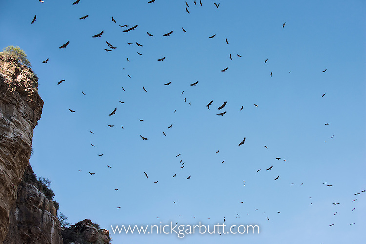 Aggregation of Rüppell's (Ruppell's) Griffon Vultures (Gyps rueppellii) over Ol Karien Gorge, Ngorongoro Conservation Area, Tanzania. Breeding site for 90% at this species in the Serengeti ecosystem.
