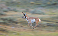 During the autumn rut, male pronghorn are very active, running, chasing, snorting and sniffing as they try to hold onto their harems.