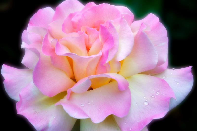 Peace Rose. Heirlom Rose Garden. St. Paul, Oregon