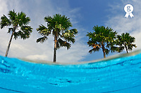 Palm trees by swimming pool egde (Licence this image exclusively with Getty: http://www.gettyimages.com/detail/88088936 )