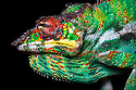 Panther chameleon male in threat display {Furcifer pardelis}, Madagascar.