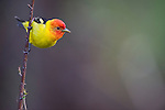 Western Tanager perches on a branch in Wyoming.