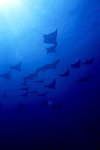 Cownose Rays with Spotted Eagle Ray School