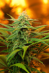 A close up shot of a budd of cannabis legally grown by a registered patient in Jamaica, Vermont.
