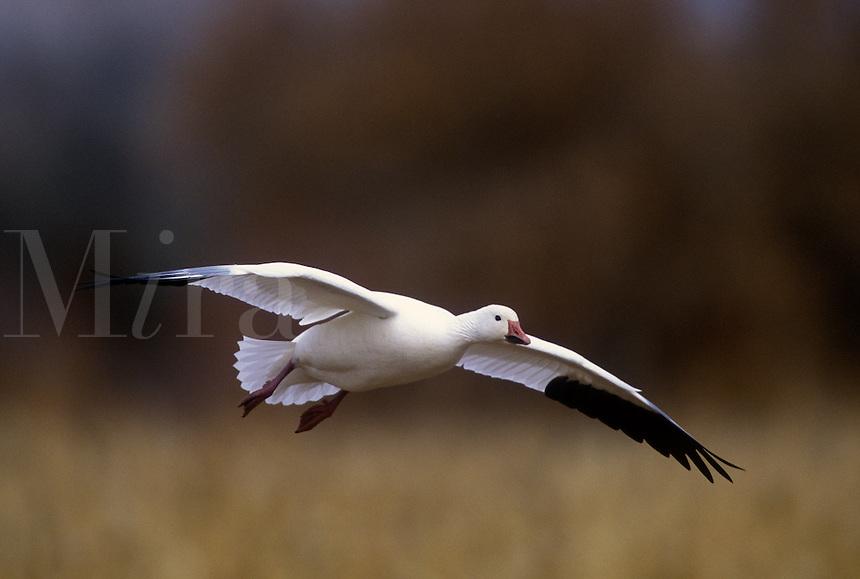 Snow goose in flight, corn field background, Bosque del Apache