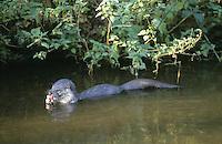 Fischotter, frisst erbeuteten Fisch, Fisch-Otter, Otter, Lutra lutra, river otter