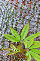 Close up of Silk Floss Tree (Ceiba Speciosa) New spring growth leaves and bark. California