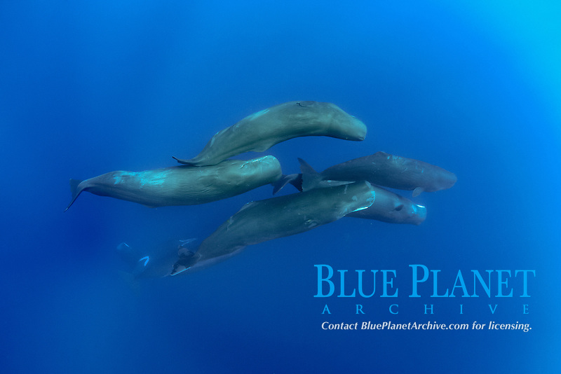 Pod of sperm whale, Physeter macrocephalus, The sperm whale is the largest of the toothed whales Sperm whales are known to dive as deep as 1,000 meters in search of squid to eat Image has been shot in Dominica, Caribbean Sea, Atlantic Ocean Photo taken under permit #P 351/12 W-2
