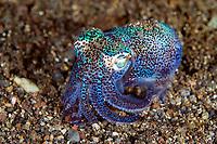 hummingbird bobtail squid, Euprymna berryi, aka Berry's bobtail squid, Alor Islands, Indonesia, Pacific Ocean