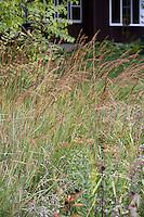 Sorghastrum nutans (Indiangrass) native grass in meadow (lawn substitute) Neil Diboll garden Wisconsin, Prairie Nursery