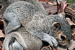 3 week old Eastern gray squirrel pup in nest climbing over his siblings.